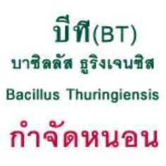 บีที80 : บาซิลลัส ทูริงเยนซิส : เชื้อกำจัดหนอนกระทู้หอม หนอนหลอดหอม ปลอดสารพิษ