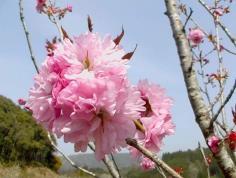Sakura KANZAN