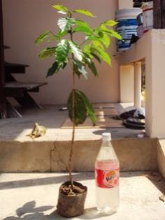 ต้นกาแฟพันธุ์อาราบีก้า