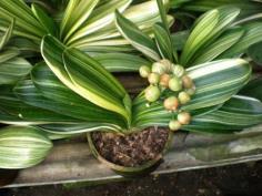 ว่านสิบแสนด่าง Clivia variegated