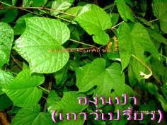 องุ่นป่า(ปลูกง่ายได้ประโยชน์)