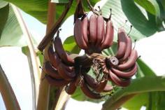 หน่อกล้วยนาก