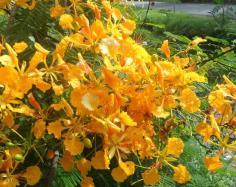 หางนกยูงฝรั่งดอกเหลือง