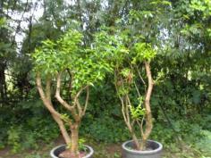 ต้นพุดโบราณ(ไม้ล้อม)3-6นิ้ว