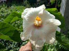 ชบาขาวดอกใหญ่
