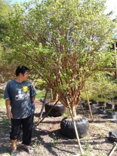 ขายต้นองุ่นบราซิล