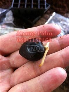 เมล็ดพันธุ์ปาล์มน้ำมัน Calix 600