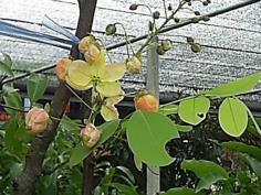 คูน(ดอกสี)ชมพู