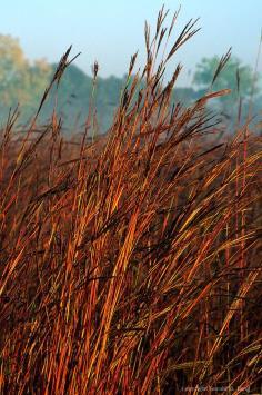 หญ้าพรรณไม้ Big bluestem Andropogon geradi