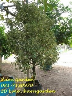 ต้นส้มจี๊ดด่าง