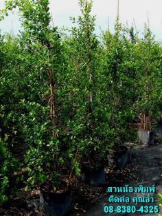 ต้นไทรอินโด (ปลูกเอง)