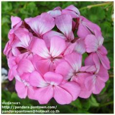 Geranium Violet