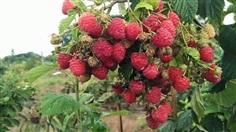ราสเบอร์รี่ raspberry