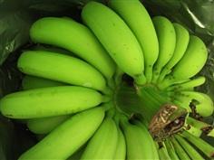 กล้วยหอมทอง (เกษตรอินทรีย์)