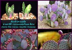 ต้นกล้ากระบองเพชรกินผล สีม่วงซานตาริต้า (Santa Rita Cactus)