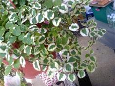 ตีนตุ๊กแกใบด่าง   Ficus pumila L.