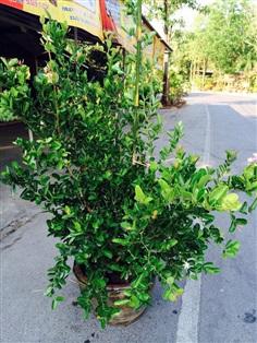 ต้นมะม่วงหาวมะนาวโห่ต้นใหญ่ พร้อมออกผล