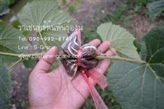 ขายกิ่งตอนองุ่นป่า กิ่งตอนองุ่นป่าสำหรับนำไปติดตา