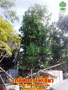 ขายต้นเกล็ดกระโห้เขียว ลำต้น 3 นิ้ว ฟอร์มสวยติดดอกแล้ว