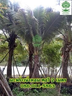 ขายต้นมะพร้าวน้ำหอมจากโคนถึงก้านแรก 2 เมตร