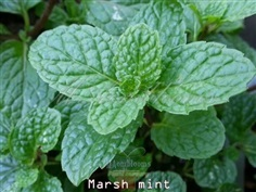 Marsh mint