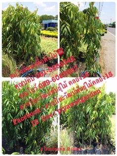 ต้นอโศกอินเดียสูง 2 เมตร