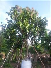 ต้นเกาลัด