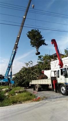 รับจัดหาต้นไม้ตามสั่งและรับปลูกต้นไม้
