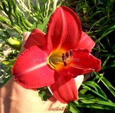 Daylily : Hemerocallis : ดอกไม้จีน