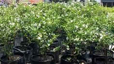 พุดพิชญา (Wrightia antidysenterica)