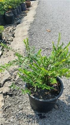 หลิวเลื้อย ( Phyllandthus myrtifolius )