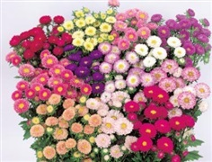 ดอกแอสเตอร์ มิกซ์ / 50 เมล็ด