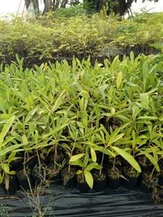 ต้นเหลืองปรีดียาธร(ตะเบ) สูง 50 ซม.