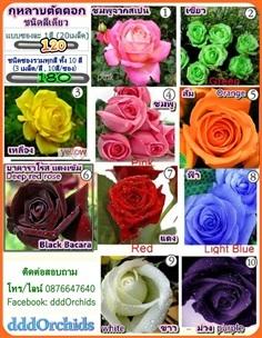 เมล็ดพันธุ์กุหลาบตัดดอก  มีหลายสี