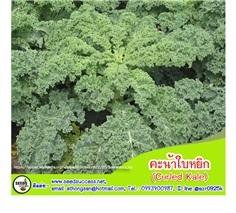 คะน้าใบหยิก (Kale) / 200  เมล็ด