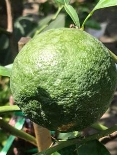 ขายต้นส้มซ่า หอมมาก ลูกใหญ่ ต้นใหญ่ หายากมาก