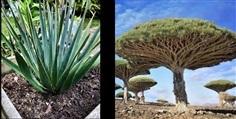 ต้นเลือดมังกร (Dracaena cinnabari)