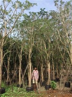 ต้นเหลืองปรีดียาธร (ตะเบเหลือง) 5-6-7-8-9 นิ้ว