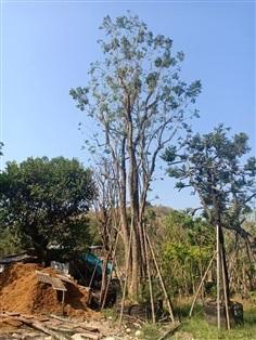 ต้นปีบ ขนาดใหญ่