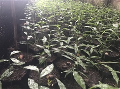 ต้นกล้าผักหวานป่า