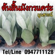 ขายต้นลิ้นมังกร มูนชายน์ ไม้ฟอกอากาศ ราคาถูก ส่งทั่วประเทศ