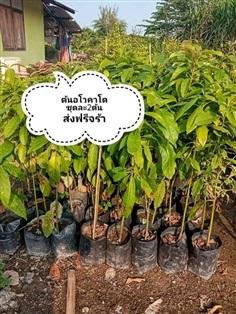 ต้นอะโวคาโด ชุดละ2ต้นส่งฟรี