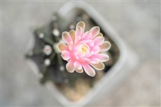 ต้นยิมโนแคกตัสกระบองเพชร ดอกสีชมพูเข้ม ผิวสีน้ำตาล แคกตัส