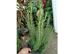 #โรสแมรี่ พืชสมุนไพรที่น่าสนใจ