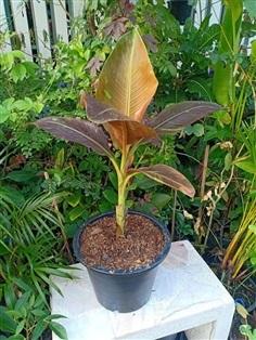 กล้วยแดงอินโดต้นละ23900