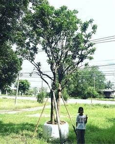 ต้นเข็ม