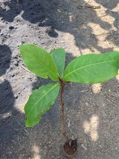 ต้นพันธุ์หูกวาง ใบมีค่าขายได้ทำปุ๋ยได้ ราคาดี